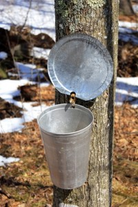 maple syrup collection kline creek