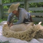 sheep shearing event at kline creek farm