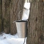 Maple Sap Collection at Kline Creek Farm