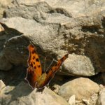 waterfall glen butterfly