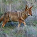 Naperville Residents Meet to Discuss Coyote Problem